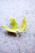 Autumn leaf on asphalt close-up