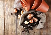 Flower bulbs, pot and soil on sackcloth napkin on wooden background