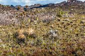 picture of canaima  - A very rare endemic plants on the plateau of Roraima  - JPG