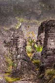 pic of tillandsia  - A very rare endemic plants on the plateau of Roraima  - JPG