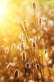 Closeup on dry wild spikes backlit with warm setting sun