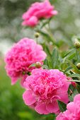 Blooming Peony Bush With Large Pink Flowers