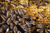 image of swarm  - Macro shot of bees swarming on a honeycomb - JPG