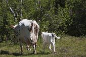 picture of calf cow  - a white cow and her calf leaving in haste - JPG