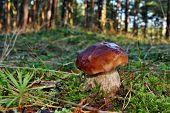 pic of boletus edulis  - Boletus edulis edible mushroom in the forest - JPG