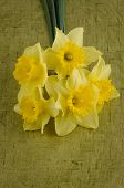 pic of jonquils  - Yellow jonquil flowers on green painted background - JPG
