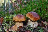 picture of boletus edulis  - Two mushroom boletus edulis in the forest  - JPG