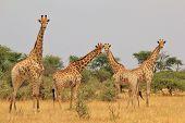 Giraffe - African Wildlife Background - Natural Patterns