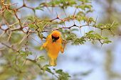 Southern Masked Weaver - Wild Bird Background - Acrobatic Determination