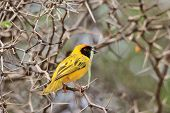 Southern Masked Weaver - Wild Bird Background - Sharp Beauty