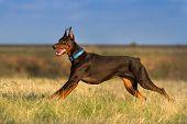Doberman run gallop