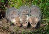 Three Red Fox Kits (vulpes Vulpes)