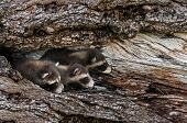 Trio Of Baby Raccoons (procyon Lotor) Peek Out From Tree