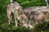 picture of working animal  - Mother Grey Wolf  - JPG
