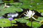 Purple and White Lotus