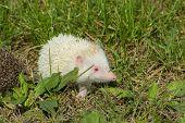 Albino Northern White-breasted Hedgehog (erinaceus Roumanicus)