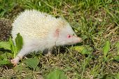 picture of albinos  - Albino northern white - JPG