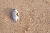 image of morbid  - Carcasses of dead fish on the beach - JPG