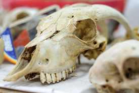 picture of life after death  - anatomy study of animal skull comes from laboratory of archaeological research