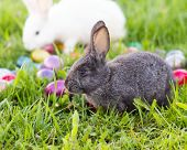 stock photo of easter eggs bunny  - White and grey easter bunnies in the grass with colorful easter eggs - JPG