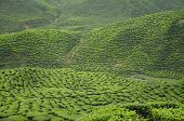������, ������: Green Tea plantation in Cameron Highland Valley