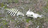 stock photo of cow skeleton  - Skull and part of the backbone of a cow on ground - JPG