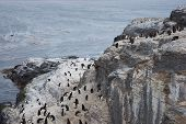 pic of falklands  - Rockhopper Penguins (Eudyptes chrysocome) on the cliffs of Bleaker Island in the Falkland Islands