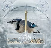 stock photo of blue jay  - Large blue jay bird in window attached birdfeeder on a wet cold day in winter - JPG