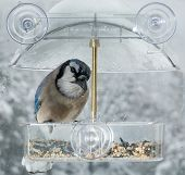 pic of blue jay  - Large blue jay bird in window attached birdfeeder on a wet cold day in winter - JPG