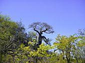 picture of baobab  - Baobab tree in savannah - JPG