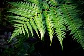 stock photo of purity  - green fern leaves against darkness background use for purity natural backdrop - JPG