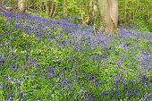 stock photo of harebell  - Beautiful landscape with Bluebell flowers in spring forest  - JPG