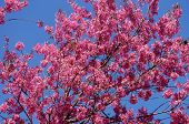 picture of sakura  - Spring flower beautiful nature with sakura bloom in vibrant pink cherry blossom is special of Dalat Vietnam blossom in springtime amazing old tree nice view up to sky make abstract background - JPG