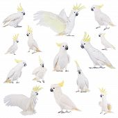 pic of cockatoos  - Sulphur - JPG