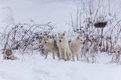 image of horrific  - Several Arctic Wolves in a winter scene - JPG