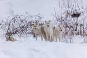 pic of wolf-dog  - Several Arctic Wolves in a winter scene - JPG