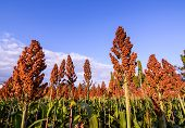 image of sorghum  - Close Up Of Sorghum In The Field - JPG