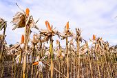 pic of corn  - Dried corn in a corn field against blue sky - JPG