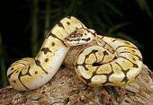 foto of tree snake  - Bumblebee Python on decayed tree branch - JPG