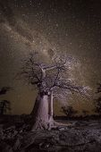 stock photo of baobab  - Baobab tree under a stary sky in Botswana  - JPG