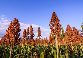 picture of sorghum  - Close Up Of Sorghum In The Field - JPG