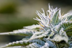 picture of marijuana leaf  - close up of a healthy marijuana plant with crystalline structures in the leafs and buds - JPG