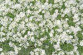 picture of lobelia  - White lobelia flowers full frame Sweden in June - JPG