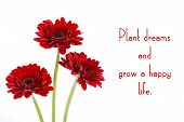 foto of gerbera daisy  - Red gerbera flowers with inspirational quote Plant Dreams and Gow a Happy Life - JPG