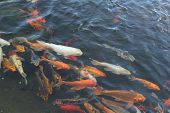 picture of fish pond  - Huge Japanese koi fish swimming in the pond - JPG