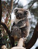 pic of eucalyptus trees  - A Australian kola sitting in a eucalyptus tree - JPG