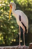 picture of stork  - Yellow billed stork in the Kuala Lumpur Bird Park - JPG