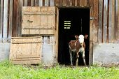 image of calves  - a young calf looking out of a barn - JPG