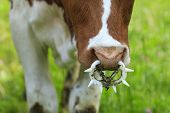 pic of calves  - close up of a young calf wearing a weaning ring - JPG