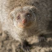 image of stare  - Headshot meerkat looking up and staring in the camera - JPG